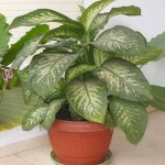 Know the toxic plant inside your house- Dumb Cane