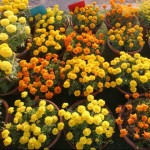 HSP 60th Annual Flower Show 2011 in Karachi