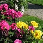How to Raise a Rose Garden