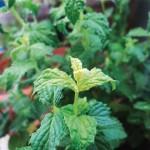 Gardening mint