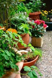 Common Perennials for Pots