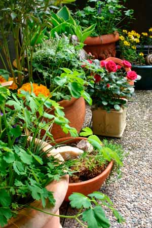Common Perennials for Pots