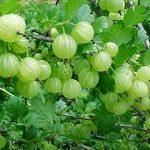 Amazing Amla (Gooseberry)