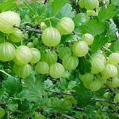 Health Tips and Technics Amazing Amla (Gooseberry)
